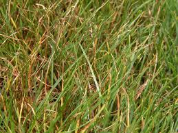 Turf Disease Turf Disease Detail For Brown Blight Drechslera Siccans
