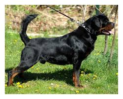 Rottweiler Size And Weight Chart Want To Make Your Skinny Rottweiler Gain Weight Heres What