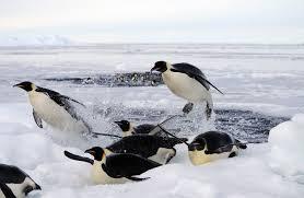 emperor penguins eating. Beautiful Eating Emperor Penguin Inside Penguins Eating A