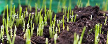Grass Seed Germination Chart Biology Of Grass Seed Germination Steps Of Seed Germination