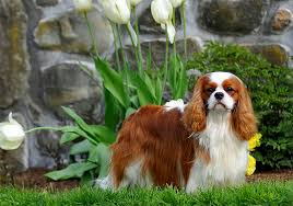 cavalier king charles spaniel full grown. Plain Spaniel Although Heu0027s Born To Be A Companion The Cavalier King Charles Spaniel Dog  Breed Retains Sporty Nature Of His Spaniel Ancestors On Full Grown R