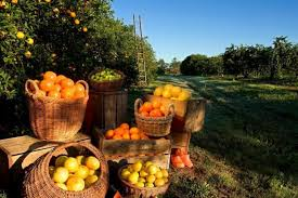 florida souvenirs oranges