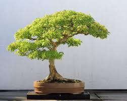 interior design using bonsai tree in bonsai plant and tree for throughout bonsai plant and tree bonsai tree interior