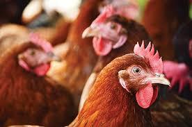 Antibody fragment technology and avian IgY antibodies: a powerful  combination