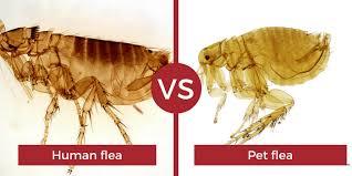 human flea control getting rid of