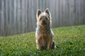 the australian terrier a k a aussie is one of the littlest terrier breeds it is strong short legged and has a long head with triangular erect ears
