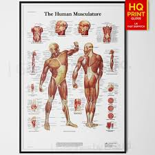 Details About Human Muscle Anatomy Chart Biology Science Education Poster A4 A3