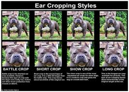 3 Different Styles Of Ear Crops For Your American Bully