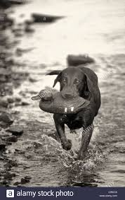chocolate lab duck. Contemporary Duck Chocolate Labrador RetrieverCarrying Duck Decoy At Hardy Lake In Scott  County Indiana To Lab A