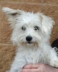 west highland white terrier maltese mix. Perfect Maltese West Highland White Terrier Maltese With Maltese Mix G