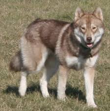 dark red husky puppy. Fine Puppy A Dirtyfaced Red Siberian With Dark Red Husky Puppy