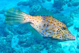 scrawled filefish. Wonderful Scrawled With Scrawled Filefish F