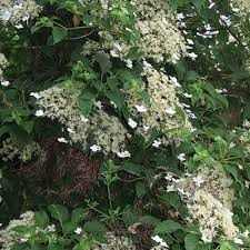 Tips For Planting Care And Cutting U2013 Clematis Climbing Plants Climbing Plant For Shade