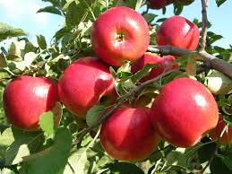 12 por fruit bearing trees that are