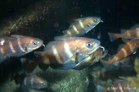 """Résultat de recherche d'images pour """"poisson tacaud"""""""