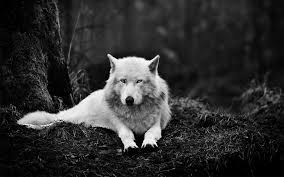 white wolf iphone wallpaper. Perfect White Wolf Iphone Wallpaper 650 HD Pictures  Top Desktop Intended White W