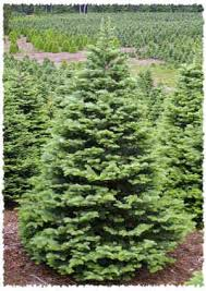 Tree Types  Bennettu0027s Best Christmas Trees And PumpkinsTypes Of Fir Christmas Trees
