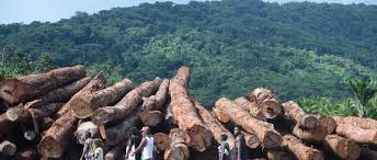 In Solomon Islands The Gendered Effects Of Corporate Logging