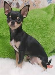 chihuahua dog breed information and
