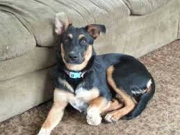 german shepherd rottweiler mix puppies. Beautiful Rottweiler Rottweiler German Shepherd Mix To Puppies N