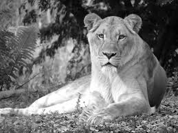 lioness black and white. Wonderful Lioness Image 0 With Lioness Black And White S