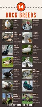 Domestic Duck Breeds Chart Duck Breeds 14 Breeds You Could Own And Their Facts At A