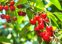 How Can I Get The Most Fruit From My Fruit TreesCherry Fruit Tree Care