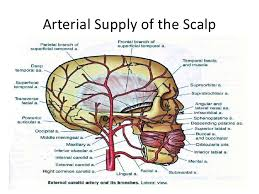 arteries of the face anatomy scalp face