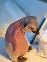 featherless penguin. Interesting Penguin Featherless Penguin Aww Inside Featherless Penguin S
