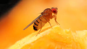 fruit flies and get rid of