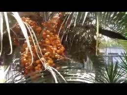 Date Palm Tree Orange Dates Summer Stock Photo 235738021 Palm Tree Orange Fruit