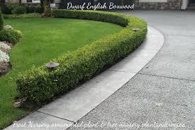 Dwarf English Boxwood For Edging Side Walks Driveways