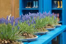 grape hyacinth bulbs. Simple Bulbs Muscari Armeniacum Grape Hyacinth Bulbs Design Spring Bulbs Summer  Fall To Hyacinth T