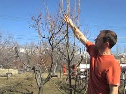 Works In The Orchard  Fruit Growers Working Spring Pruning Fruit Pruning Fruit Trees Video