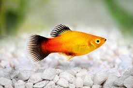 Freshwater Fish Tank Temperature Chart Platy Fish The Care Feeding And Breeding Of Platys