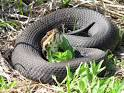 cottonmouth moccasin