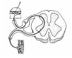 Spinal_nervous_pathway_unlabelled nervous system worksheet wikieducator on nervous system printable