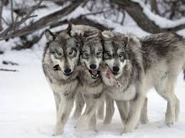 gray wolf pack playing. Fine Playing Gray Wolf Pack With Playing Y