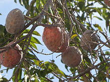 Annona  WikipediaAnnona Fruit Tree