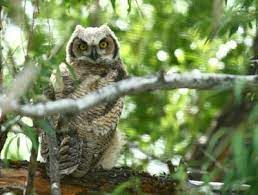 attract great horned owls to your yard