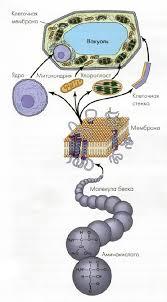 Клетка и её свойства Цитология Реферат доклад сообщение  Структурные и функциональные компоненты клетки как представителя клеточного уровня биосистем