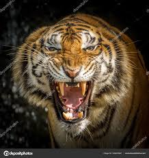 tiger face roaring stock photo by