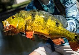 Florida Freshwater Fishing Regulations Chart Invasive Fish In Florida All You Need To Know