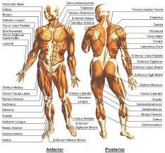 Human Muscles System | Peak Energy