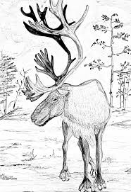 Small Picture Caribou pencil drawing caribou elk moose deer Pinterest