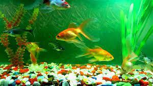 Live Aquarium Desktop Fish Wallpaper ...