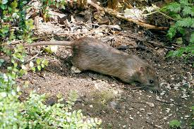 tips for keeping rats out of home and