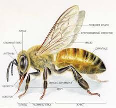 картинки по запросу крылья пчелы фото хотелки пчеловодство