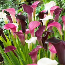 calla lily flower bulbs bulb flower types l14