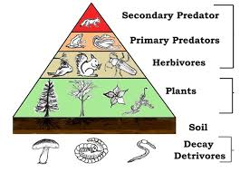 In every food chain, the plants occupy the first position and lead the  chain as a source of food. For example